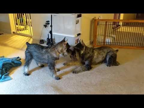 Cutest standard Schnauzer puppy's first night at home