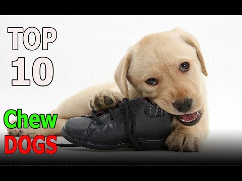 Top 10 dog breeds That LOVE To Chew | Top 10 animals