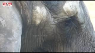 الارهاق الشديد يظهر على وجه الفيلة