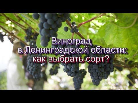 Виноград в Ленинградской области: как выбрать сорт