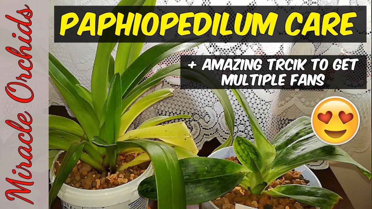 How To Care For Paphiopedilum Orchids Watering Fertilizing