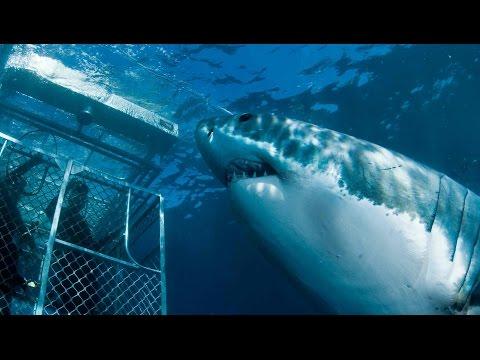 Австралия! Большие Белые АКУЛЫ! AUSTRALIA! GREAT WHITE SHARK!
