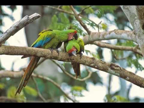 Guacamaya Verde Limón Cantando Sonido para Llamar El Mejor