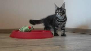 Кошка Volgacoon Аrizona 3 месяца