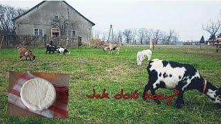 Jak wydoić kozę // co robię z mleka i kozy na pastwisku
