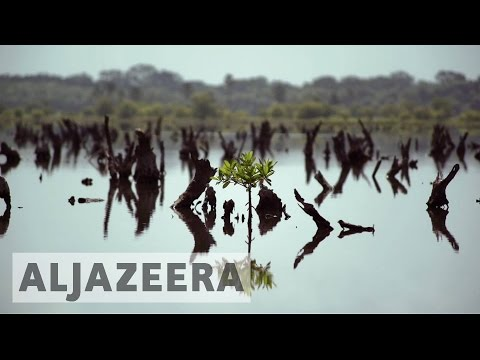 Senegal: Villagers replanting mangroves to protect environment and their livelihood