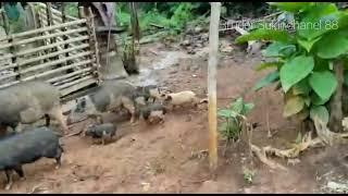 Cara Membuat Babi cepat Gemuk.