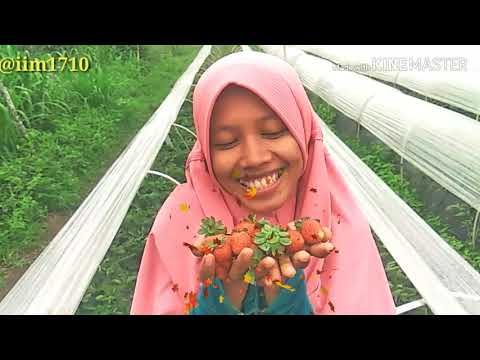 picking-strawberry-farm---ica-official