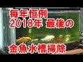 【アクアリウム・金魚】毎年恒例、2018年最後の金魚水槽掃除するよ♪