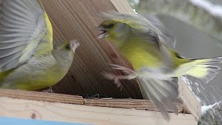 Зеленушка (Chloris chloris) - European greenfinch