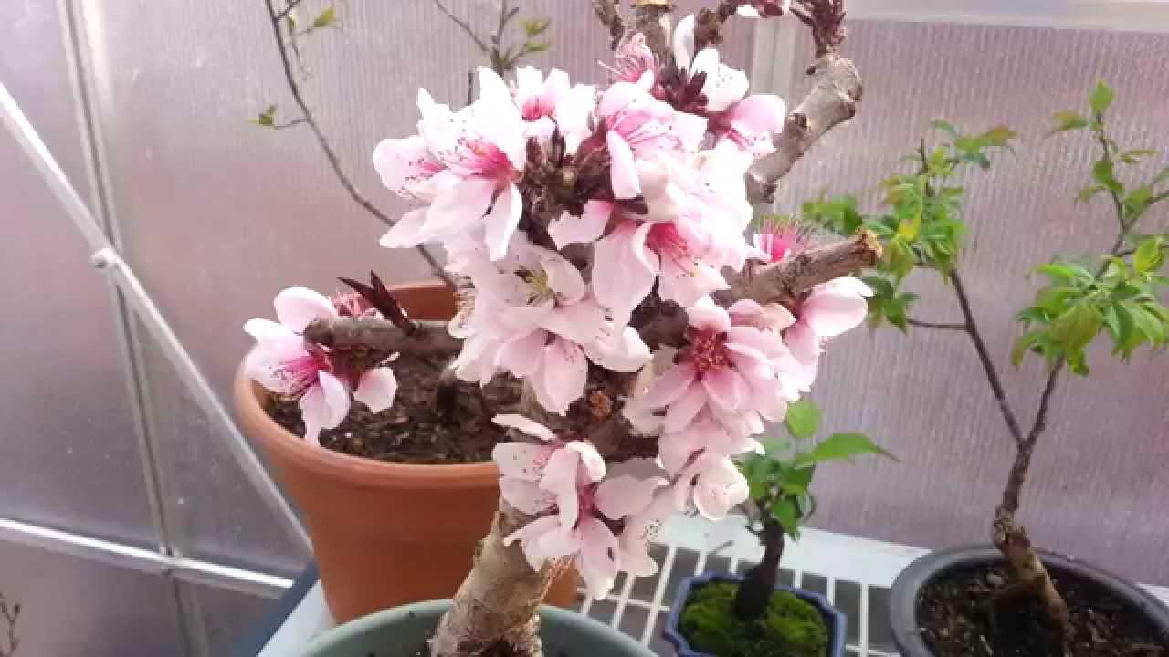 Specimen Bonsai Peach Youtube