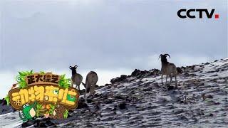 [正大综艺·动物来啦]盘羊相互撞击时的受力点是哪个位置| CCTV