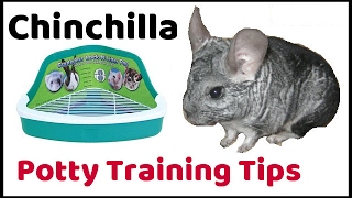 Chinchilla Litter Box Training