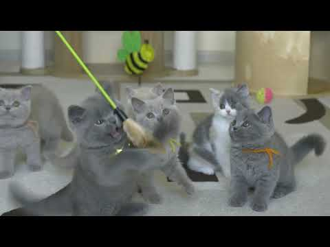 Британские котята в возрасте 8 и 9 недель