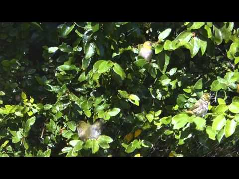 Cape White-Eyes bathing in a garden sprinkler