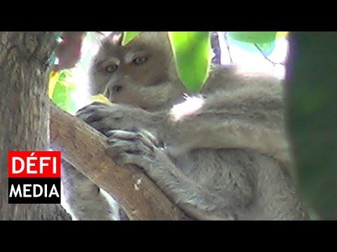 Port-Louis: un singe dans la ville