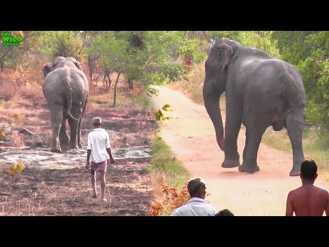 Playful elephant gets chased back to a safe jungle. Village in Chaos!!!