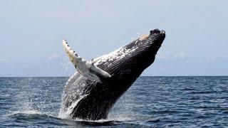 Самый Огромный в Мире! Большой Синий Кит  Невероятный Гигант Океана