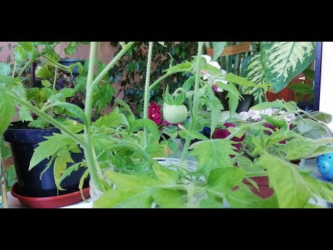 Чем лучше обработать помидоры против фитофторы?