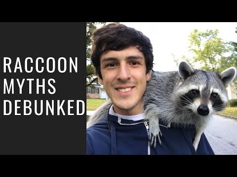 Debunking Myths about Raccoons