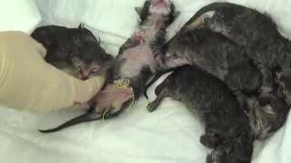 Кесарево у кошки(В ветеринарной клинике Лаки на свет появились малыши: замечательные котятки! Родились они у бездомной мамы,..., 2014-04-07T10:34:51.000Z)