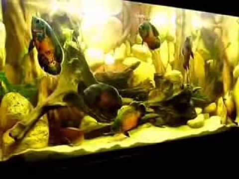 Cá tai tượng châu phi - Thiên Đường Cá Cảnh