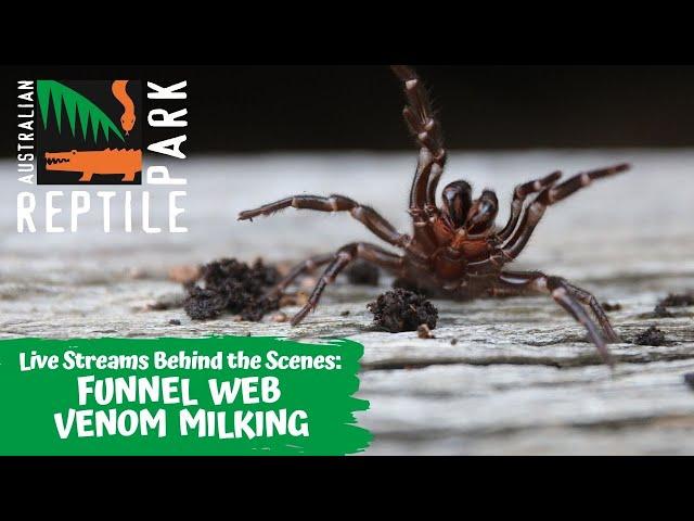 LIVE: FUNNEL WEB SPIDER MILKING   AUSTRALIAN REPTILE PARK