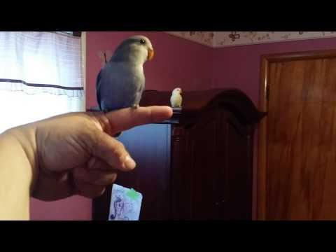 Recall training lovebirds