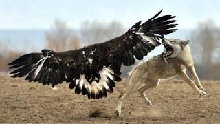 Kartalın Nefes kesen Kurt Avı  Eagle Attack Wolf  2016