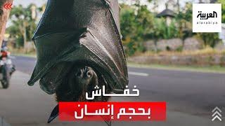 خفاش عملاق بحجم إنسان أرعب العالم