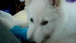 Adorable 10 week old White Swiss Shepherd puppy