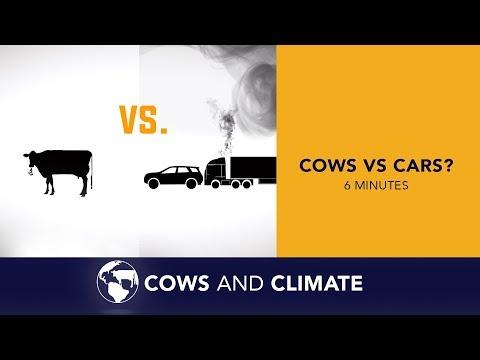 Cows Vs Cars?