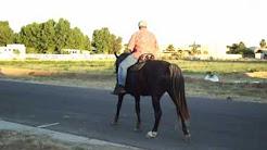 Rocky Mountain Horse-McGuire's Zocor-Inexperienced Rider