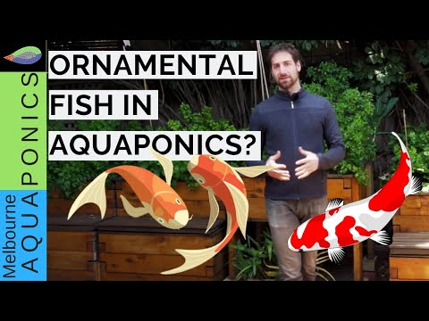Ornamental Fish In Aquaponics? | 5 Points You Should Know