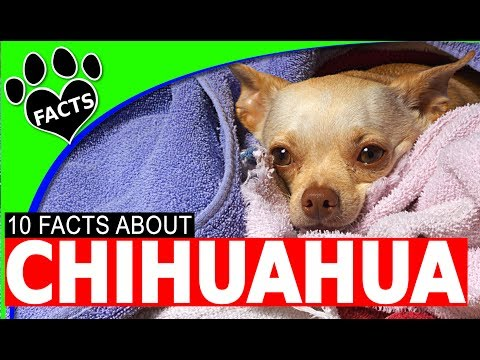 10 OMG Facts About Chihuahuas Dogs Information Dogs 101 Interesting #DogFriends #chihuahua