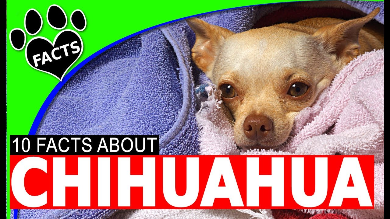 Dogs 101 Chihuahua Facts Most Por Dog Breeds Animal