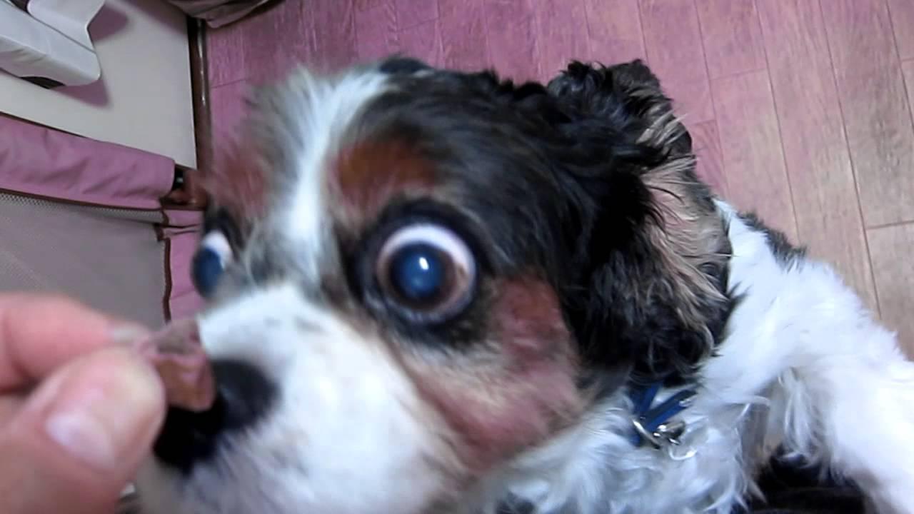 犬 目 飛び出る
