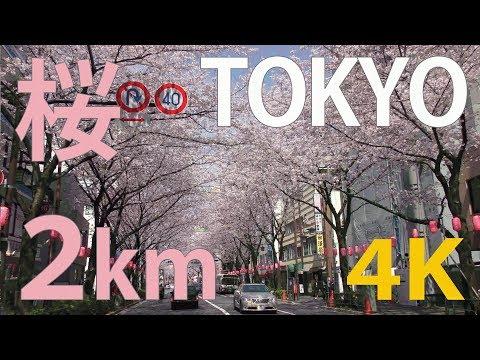 [4K]Tokyo Cherry blossoms (sakura)Tokyo's Best Cherry Blossom Spot(Nakano) [Japan Travel Guide]