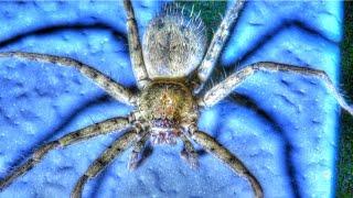 Giant Huntsman Spider in Florida