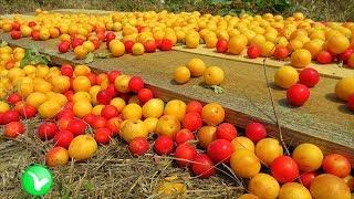 Алыча – волшебный фрукт, решает все проблемы. Польза и вред алычи.