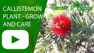 Callistemon plant - growing and care