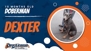 """10-month Old Doberman """"dexter:"""" What An Amazing Transformation!"""