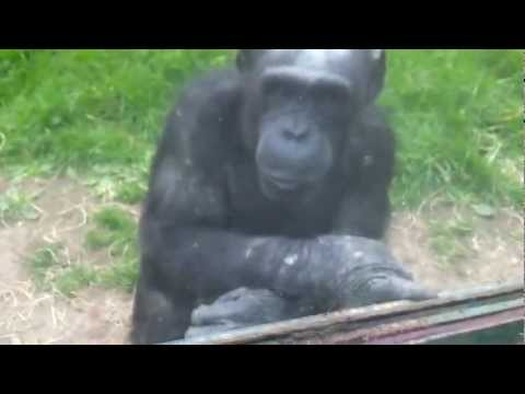 Amazingly clever chimpanzee communicating with zoo visitors