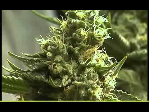 cosecha de la marihuana