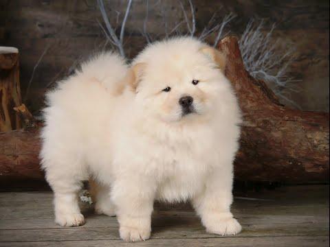 Chó Chow Chow - Ưu Điểm Và Nhược Điểm