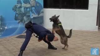 為提升懲教院所範圍內外的保安水平,懲教署從內地引進7隻昆明犬,以協助...