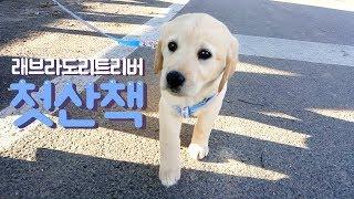 태어나 산책 처음하는 2개월 강아지 아기 _ 래브라도 리트리버 소녀의 첫 산책 :)