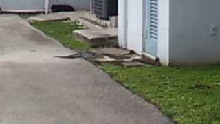 Hungry Iguana vs Sick Rat