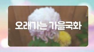 한겨울꽃/오래가는 가을국화/새싹/월동/국화오래피우기/화…