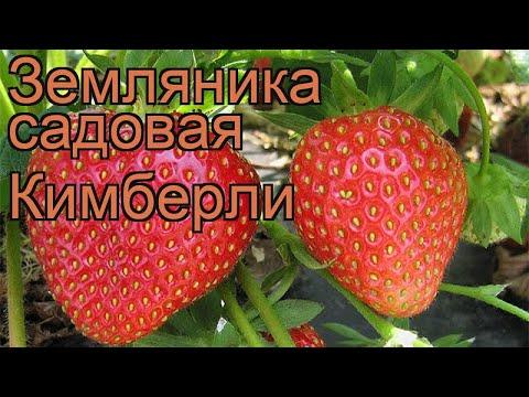 Земляника садовая Кимберли (fragaria ananassa) 🌿 обзор: как сажать, рассада земляники Кимберли